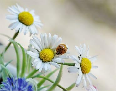 daisy-2257468_640-as-Smart-Object-1.jpg